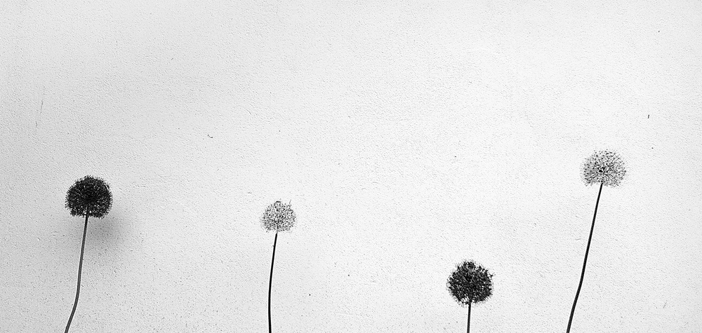 Alliums against a Wall
