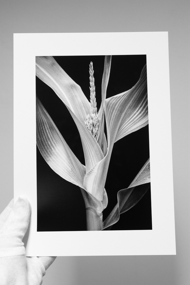 Young Corn  on Canson Baryta Photographique, A4