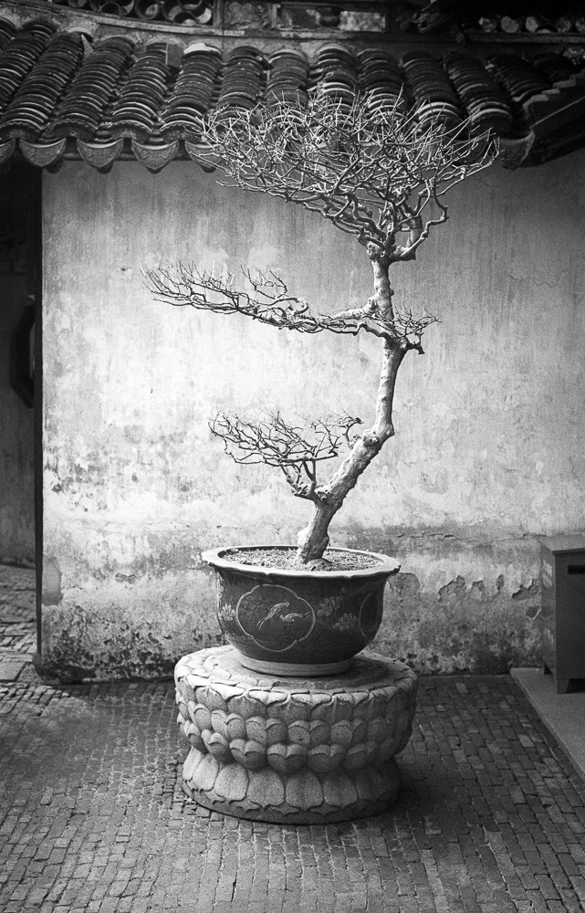 Courtyard Tree , Leica M6TTL and HP5 Plus film