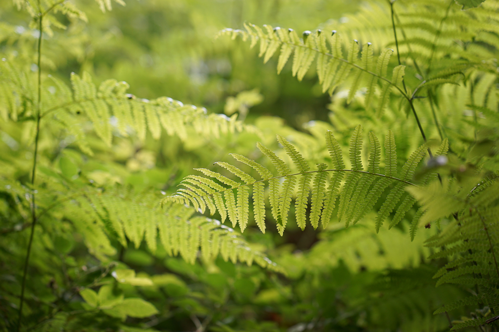 The lush young ferns of Cannock Chase, Staffordshire.