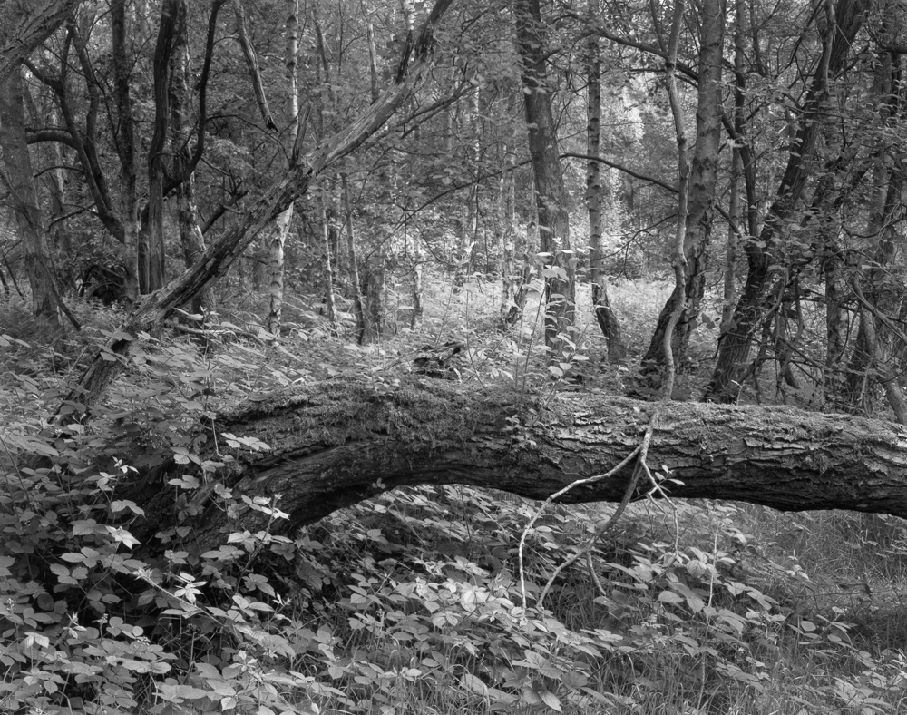 Fallen Tree . A 10 x8 contact print made on warmtone fibre based darkroom paper.