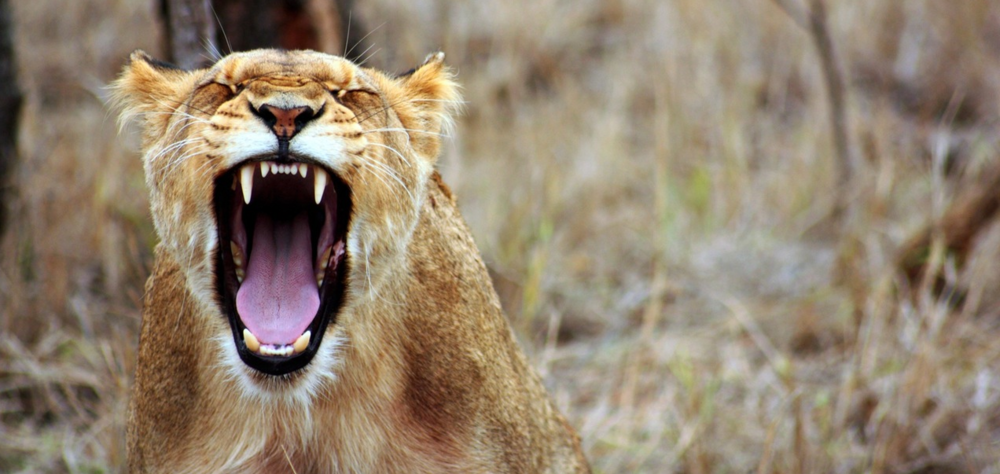 Lion in South Africa | Wanderlust Movement