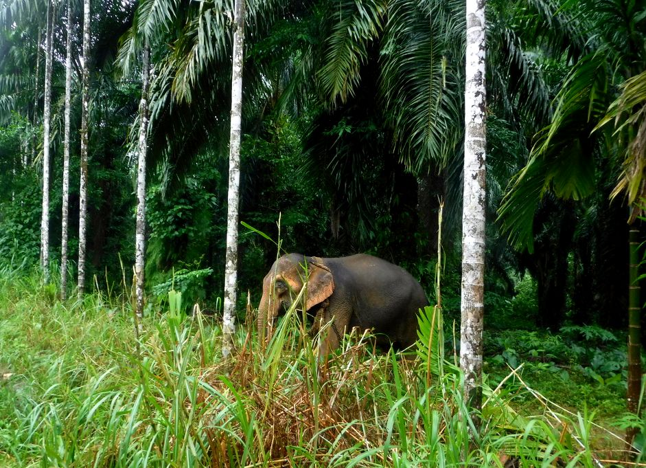 The first elephant I saw in Thailand was chained to a tree on a short leash