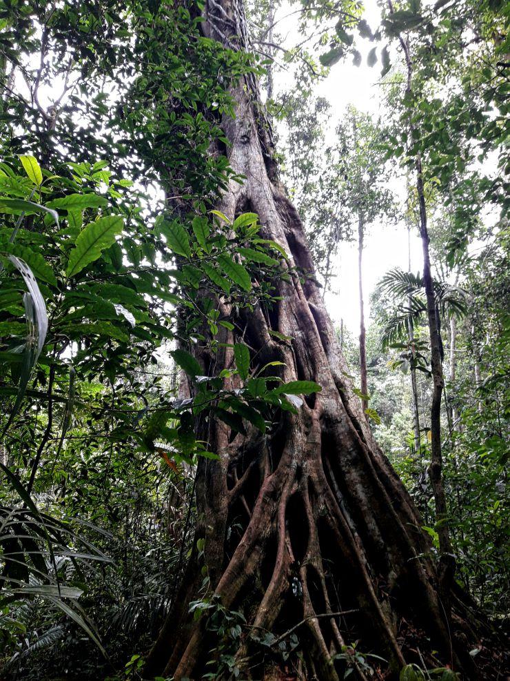 An epic tree inside the Khao Yai forest | Wanderlust Movement