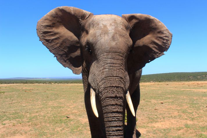 Elephant in Addo Elephant National Park | Wanderlust Movement