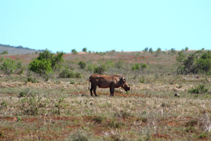 Warthog in Addo National Park | Wanderlust Movement