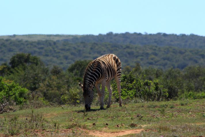 Zebra in Addo National Park | Wanderlust Movement