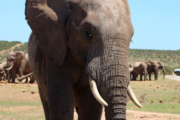 Elephant in South Africa | Wanderlust Movement
