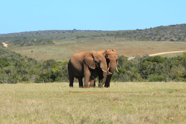 Couple of elephants in Addo National Park | Wanderlust Movement