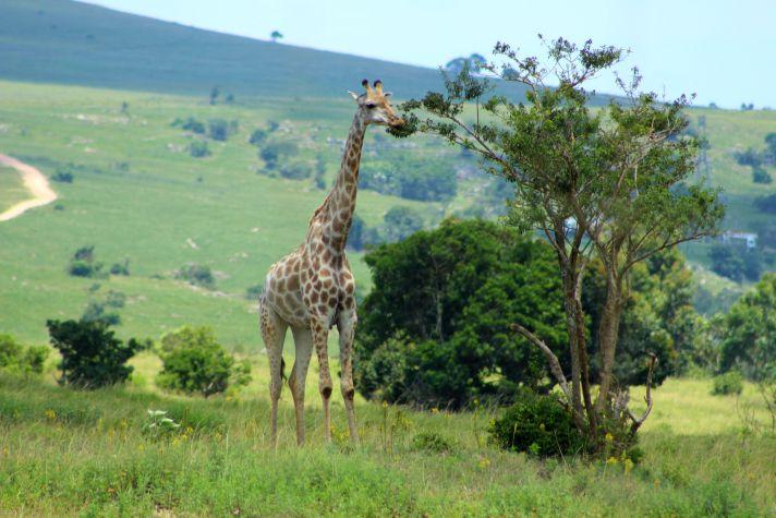 Giraffes at Lake Eland | Wanderlust Movement