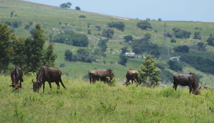 Wildebeest in Lake Eland | Wanderlust Movement