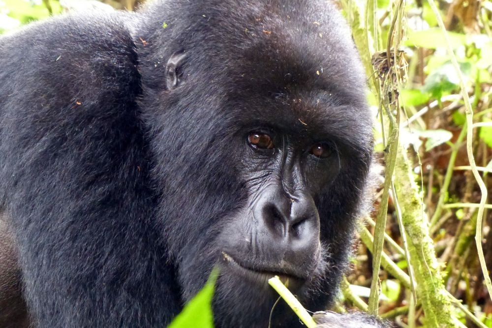 Mountain gorilla in Rwanda | Wanderlust Movement