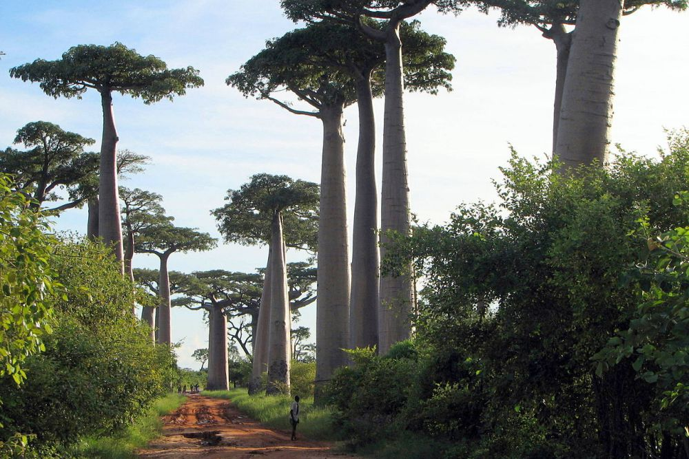 AVENUE OF THE BAOBABS / BERNARD GAGNON, WIKIMEDIA COMMONS / CC BY-SA 3.0