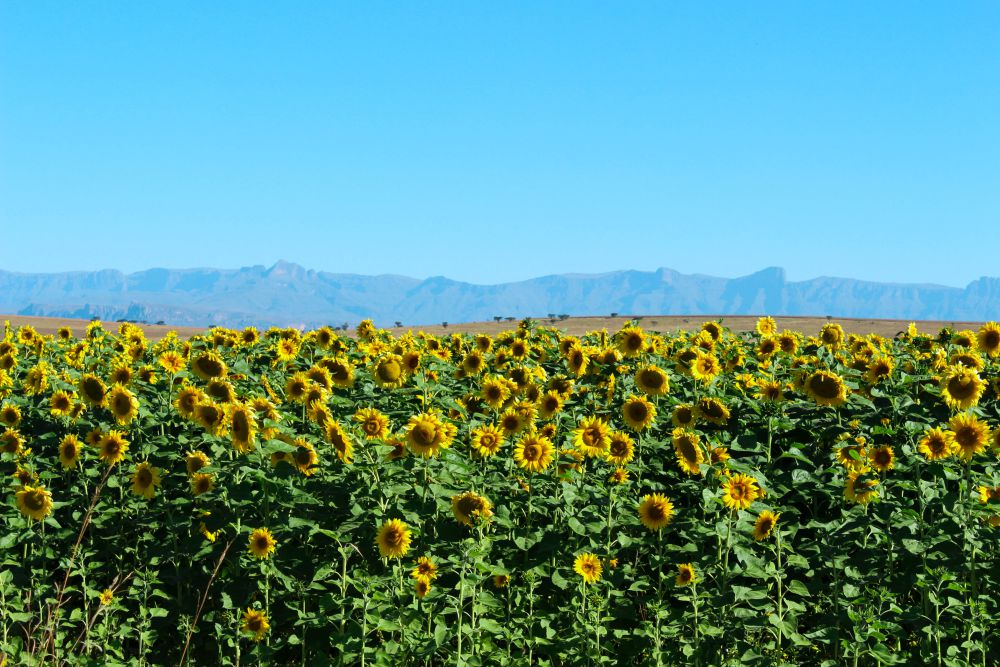 Sunflowers in the Northern Drakensberg, South Africa | Wanderlust Movement