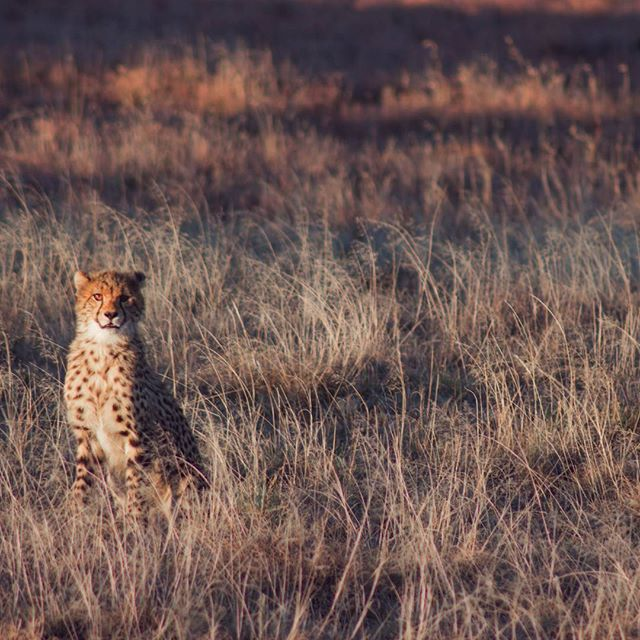 It's still so surreal that I can say I tracked wild cheetahs on foot!  Why pay money to walk with big cats or cuddle them when you can witness them in their natural environment on foot?  We even saw the four cubs try to tackle down a zebra. Seeing that in such close proximity is worth more than any hands on experience.  If you find yourself near Graaf Reneit and want a tick off a bucket list experience - go to Samara Game Reserve! 🐆