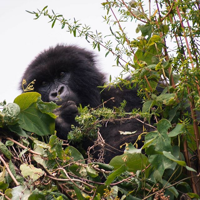 Did you know there are less than 800 mountain gorillas left in the wild?  Still can't believe I saw one of them while on my Dian Fossey hike in Rwanda!
