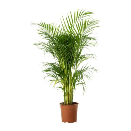 The areca palm (Chrysalidocarpus lutescens)