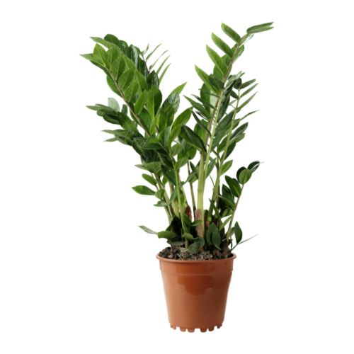The ZZ plant