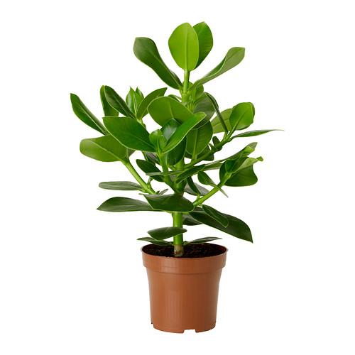 Clusia rosea , aka the autograph plant