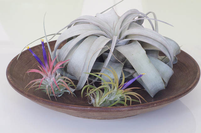 Living on air: Tillandsia xerographica (behind) and T. ionantha. Photograph: searcher on Flickr.