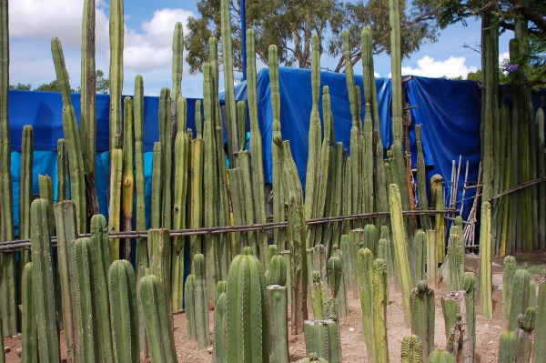 A cactus fence is a spiny deterrent against intruders. Photograph by Christopher Holden on Flickr.
