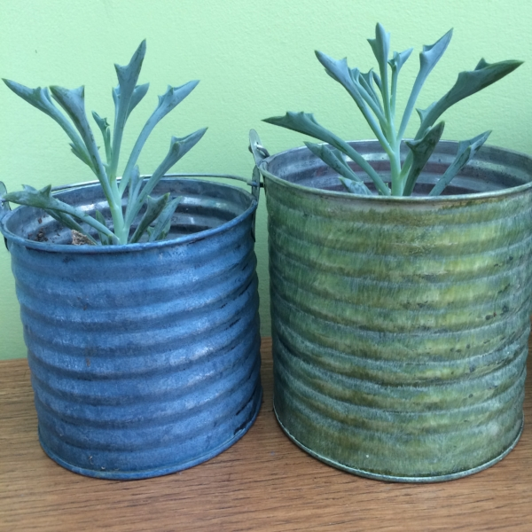 "I picked up these spearhead succulents (Senecio kleiniiformis) in a single pot from WIlkinsons... labelled simply as ""succulents"" of course. (Pots not included.)"