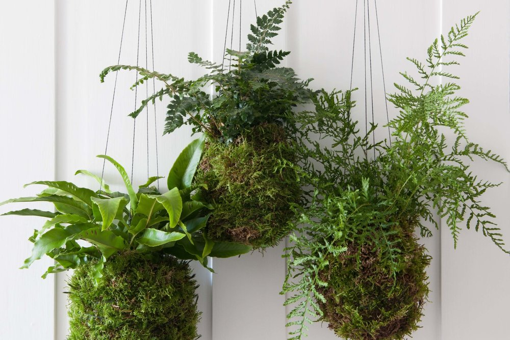 Carolyn Dunster's kokedama creations.