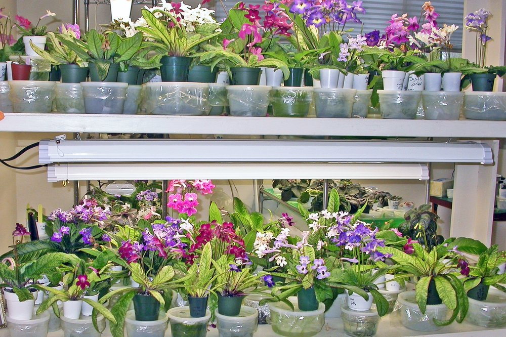 Some of Dale Martens' Streptocarpus collection, grown under lights using the wick watering system.