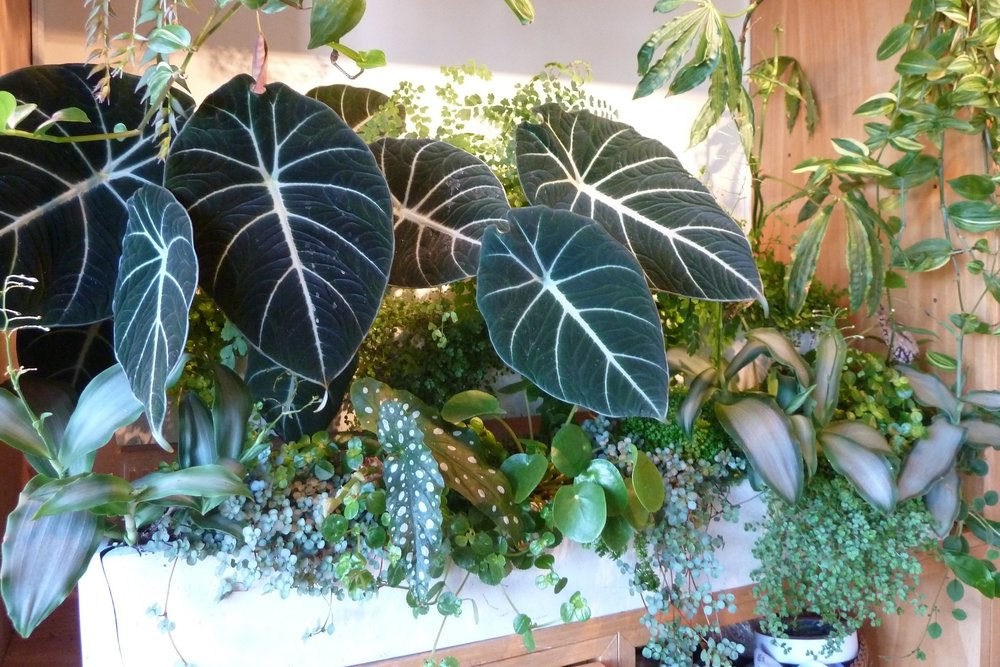ONe of James's houseplant window boxes featuring  Alocasia reginula ,  Pilea libanensis ,  Begonia maculata ,  Pilea peperomioides , and  Adiantum raddianum . Photograph: Jane Perrone