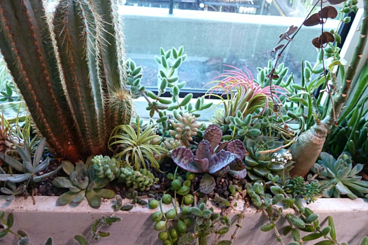 Cacti and succulents living in harmony on James Wong's windowsill. Photograph: Jane Perrone