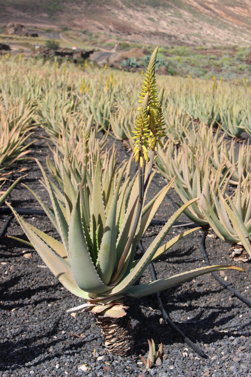 Aloe vera  in flower on Lanzarote. Photograph: Colin Walker