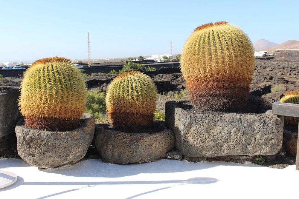 Echinocactus grusonii  at Jardin de Cactus Lanzarote. Photograph: Colin Walker