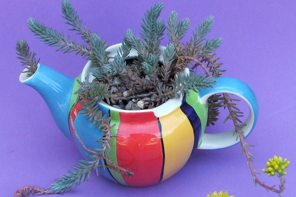 Sedum rupestre  growing in a teapot. Photograph: Colin Walker