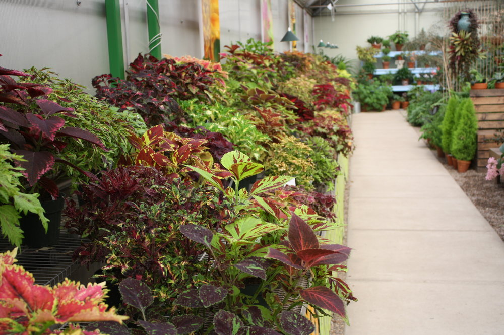 Coleus On Display At The Greater Des Moines Botanical Garden. Photograph:  Kelly Norris.