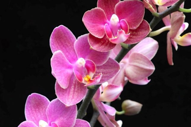 Phalaenopsis 'Diffusion' by Double H Nurseries.