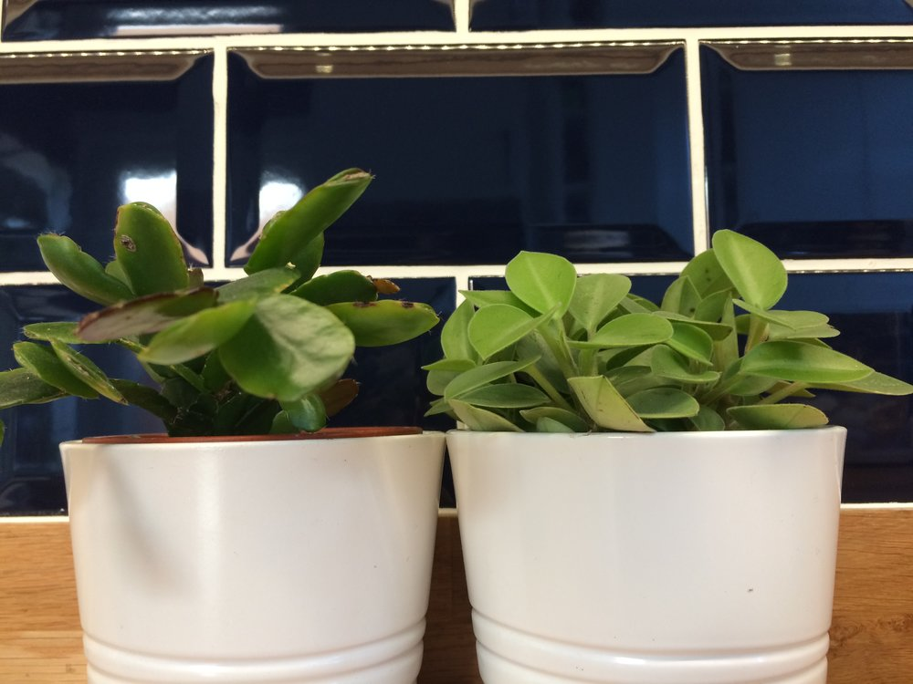 Can you ID my mystery Peperomia? It's the plant on the left…