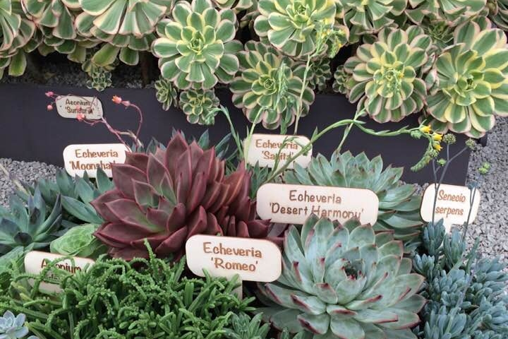 Succulents from Cornwall-based nursery  Surreal Succulents  on display at the Hampton Court Palace flower show. Photograph: Jane Perrone.