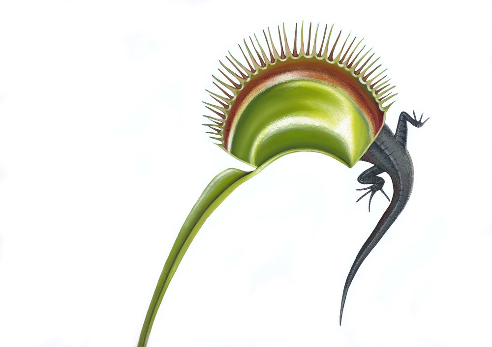 A Venus flytrap catches its prey. Painting by Chris Thorogood.