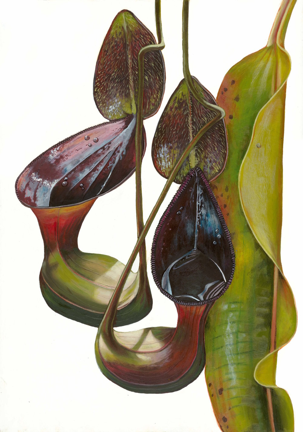 Tree shrew toilet: Low's pitcher plant. Painting by Chris Thorogood.