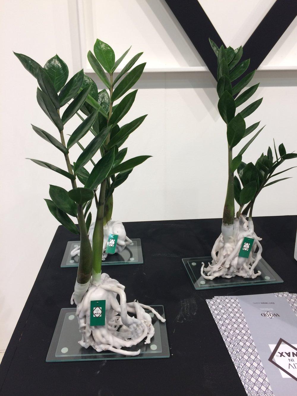 LivinWax ZZ plant