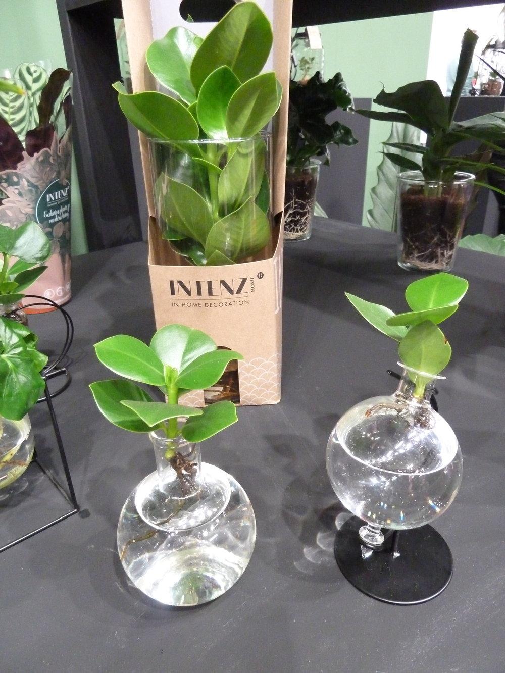 Water cultured ZZ plants