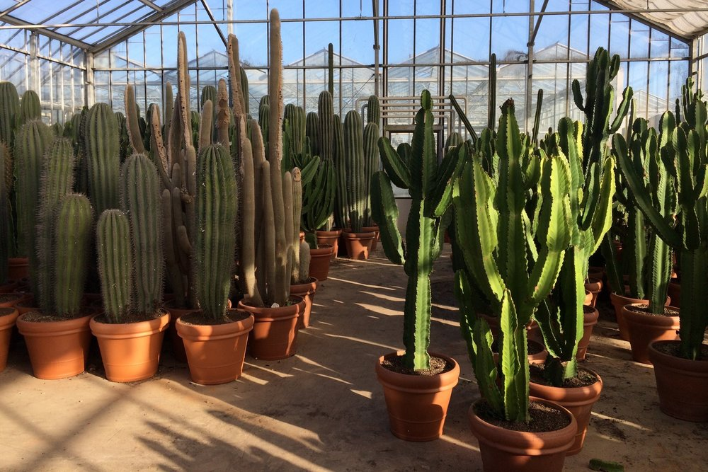 A forest of cacti and Ubink Nursery in the Netherlands. Photograph: Jane Perrone.