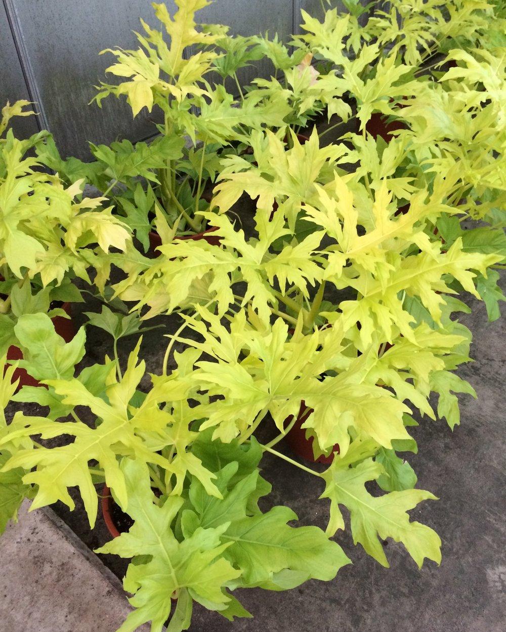 Philodenron selloum 'Gold'