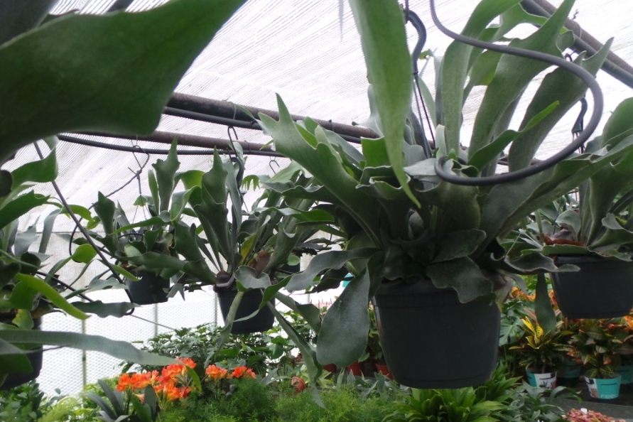 Staghorn ferns in the hothouse at  Perfectplants.co.uk . Photograph: Jane Perrone