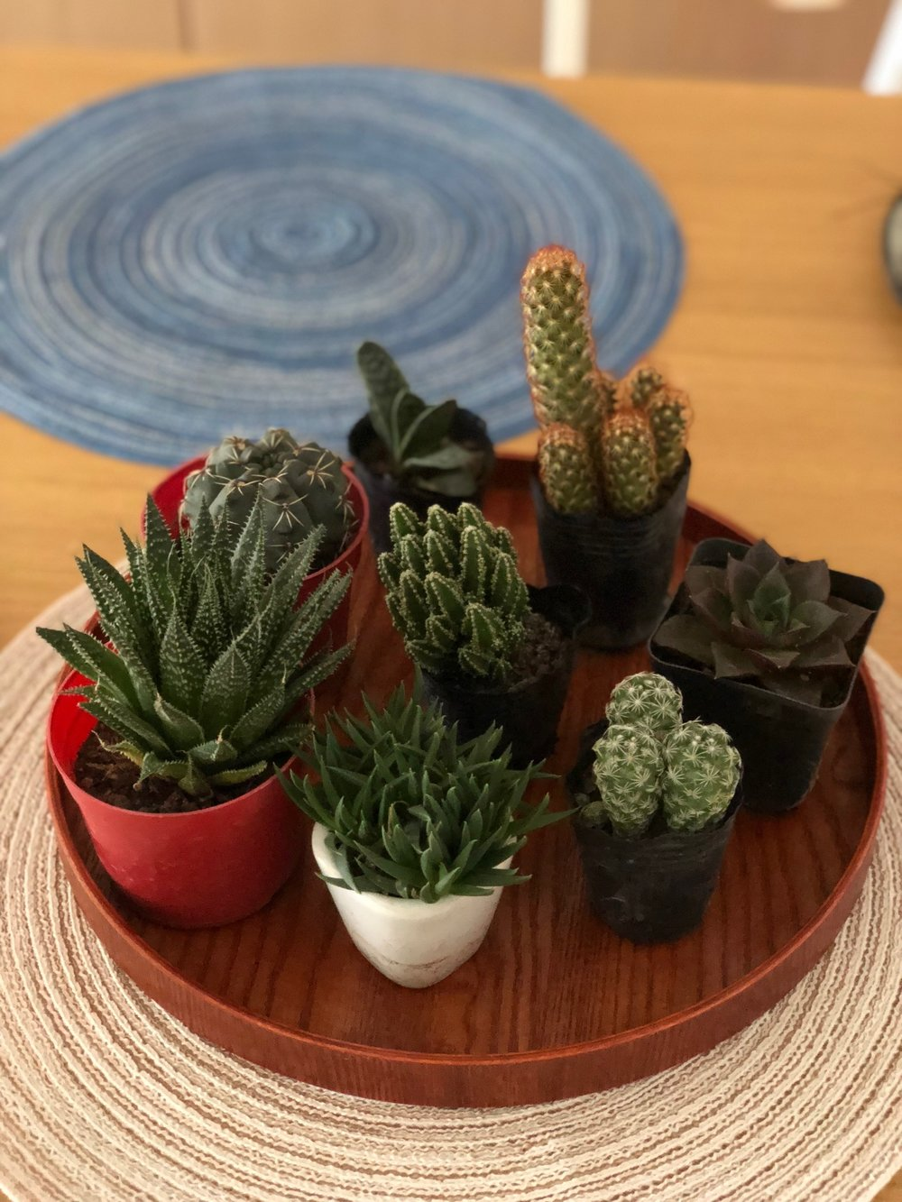 Michael's growing collection of succulents