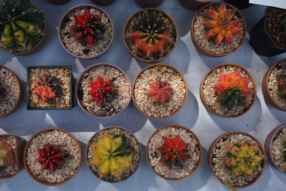 Cacti on display in Thailand