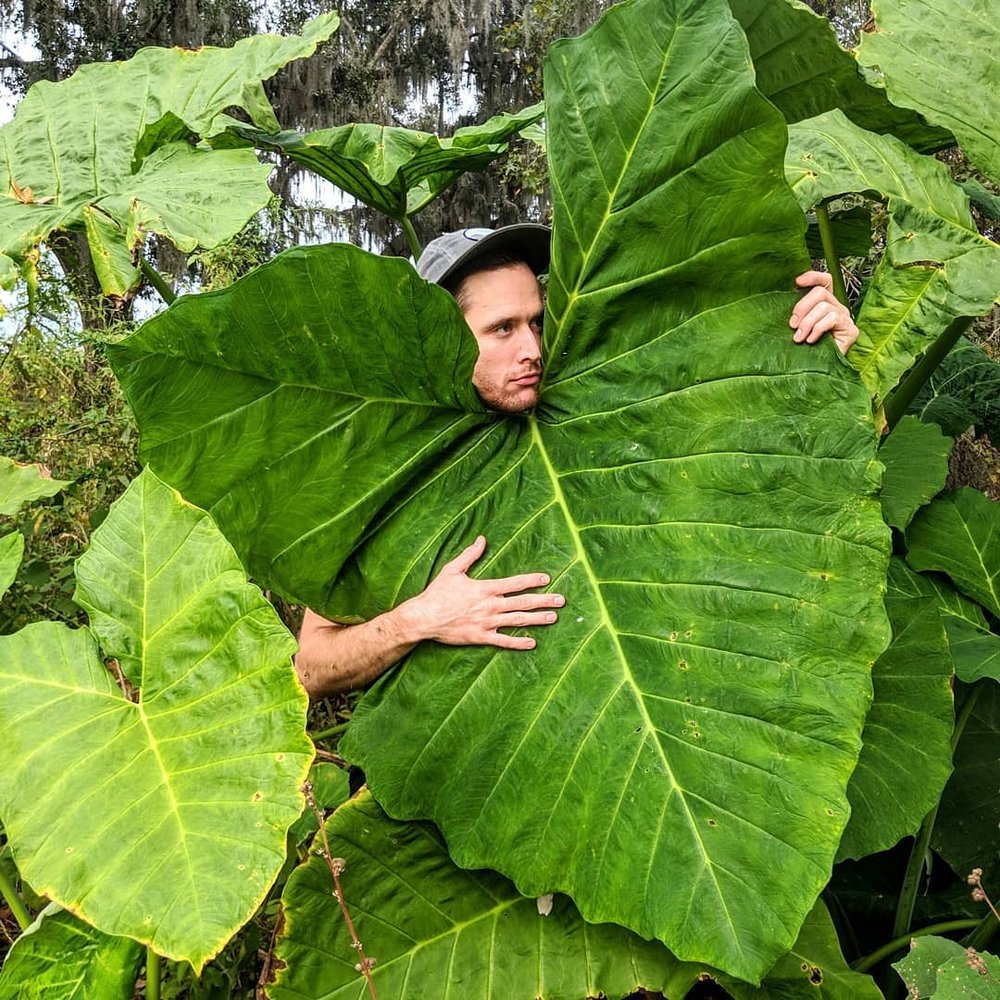 @dansyc  with a huge Colocasia leaf. Photograph courtesy of  @boyswithplants .