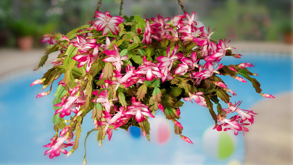 A Christmas cactus in full fig. Photograph:  Corn Farmer  on  Flickr .