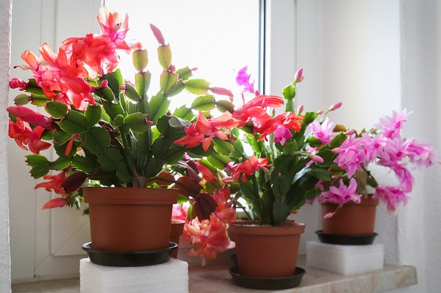 Schlumbergera flowers come in a range of incredible colours… did you know they're shaped to be pollinated by hummingbirds? Photograph:  Maja Dumat  on  Flickr .