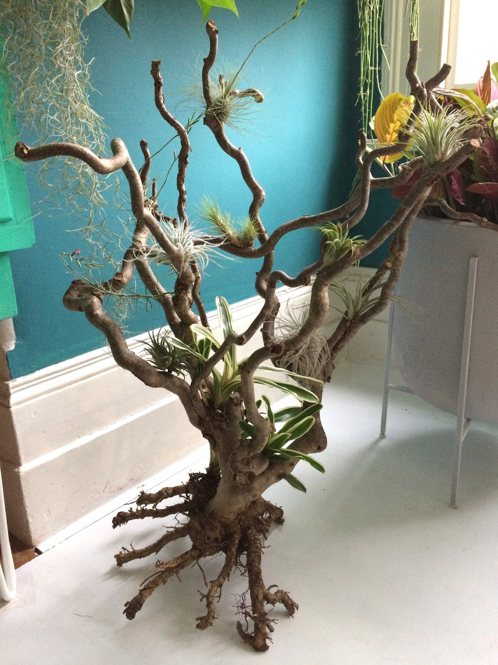 Rob's air plants displayed on a dead twisted hazel. Photograph: Jane Perrone.